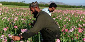 আফগানিস্তানে আফিম চাষ বন্ধের উদ্যোগ তালেবানদের